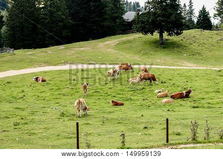 Free Range Cattle Cows On High Mountain Green Pasture.