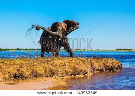 Lone elephant clean river silt. Botswana National Park Chobe on the river Zambezi