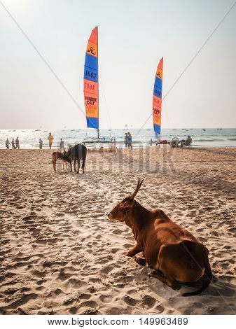 Arambol Goa India - December 8 2014: Holy Indian cows against the sailboards on the Calangute beach