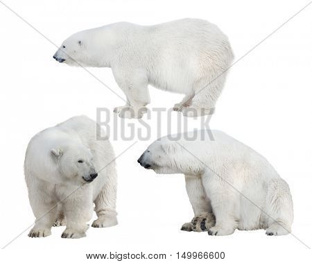 set of polar bears isolated on white background