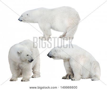 set of polar bears isolated on white background