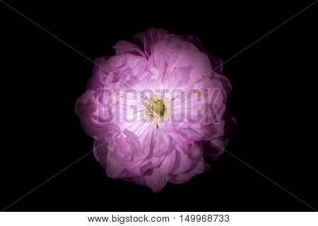 Pink Flower with Round Petals like Petunia Isolated on Black BackgroundPink Flower with Round Petals like Petunia Isolated on Black Background. Sakura blossom. Good idea for wallpaper or banner