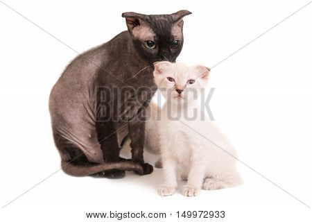 Black Purebred Sphinx Cat With A Kitten