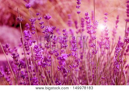 Beautiful lavender flowers grow in the natural park. Field summer early fall flowers evening sunset background. Purple field flowers background. Tender lavender flowers at sunset.