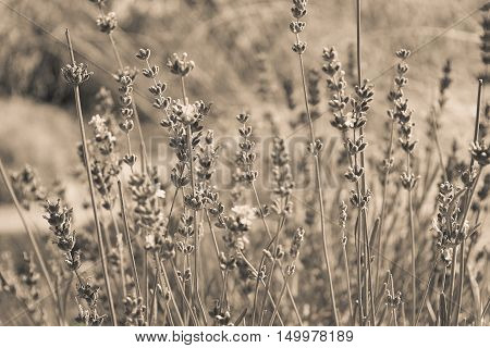 Sepia image of lavender field. Sepia effect beautiful summer background with field flowers and plants. Autumn flowers background. Fall sepia vintage concept. Sepia photo of meadow, lawn plants, grass.