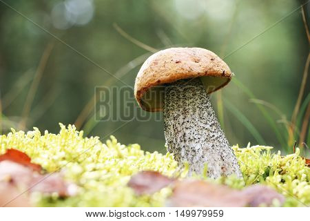The orange-cap mushroom grow in the green moss birch wood leccinum growing in the sun rays close-up photo