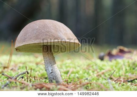 The leccinum grow in the green moss wood mushroom growing in the sun rays close-up photo