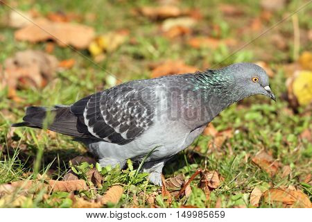 close up of feral pigeon on autumn lawn ( Columba livia )