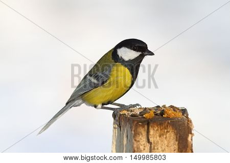 great tit on stump garden feeder ( Parus major )