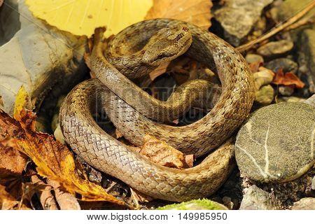 smooth snake on autumn forest ground ( Coronella austriaca )