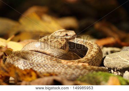smooth snake on forest ground ( Coronella austriaca )