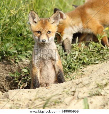 red fox cub looking at camera ( Vulpes )
