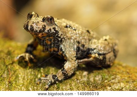 close up of yellow bellied toad ( Bombina variegata )