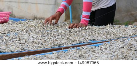 Thai worker sorting fish which have been drying in the sun, village near Songhkla, Thailand