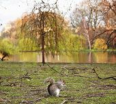 Grey Squirrel (Sciurus carolinensis) sitting on the green with beatiful scenery as background poster