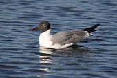 Laughing Gull (Larus atricilla) swimming in the Gulf of Mexico poster