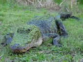 A photo of a alligator seen in Texas. poster