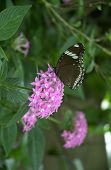 butterfly resting on a pink flower in profile poster