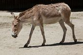 Persian onager (Equus hemionus onager), also known as the Persian wild ass. Wildlife animal.  poster