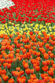 Tulips in four colors