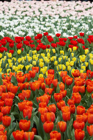 Tulips in five colors
