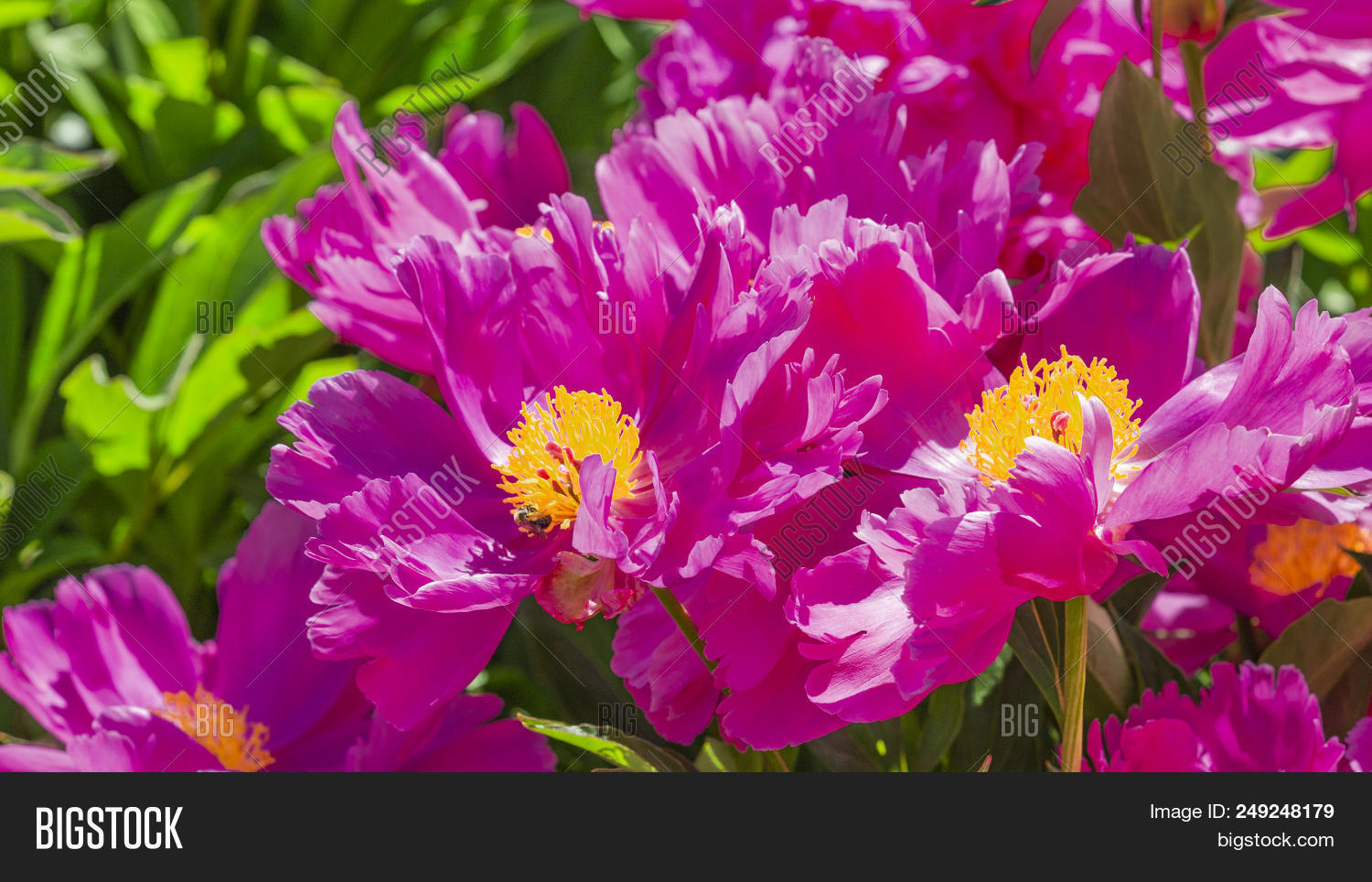 Beautiful delicate image photo free trial bigstock beautiful delicate fragile bright purple pink flowers of japanese peonies with a yellow center in mightylinksfo