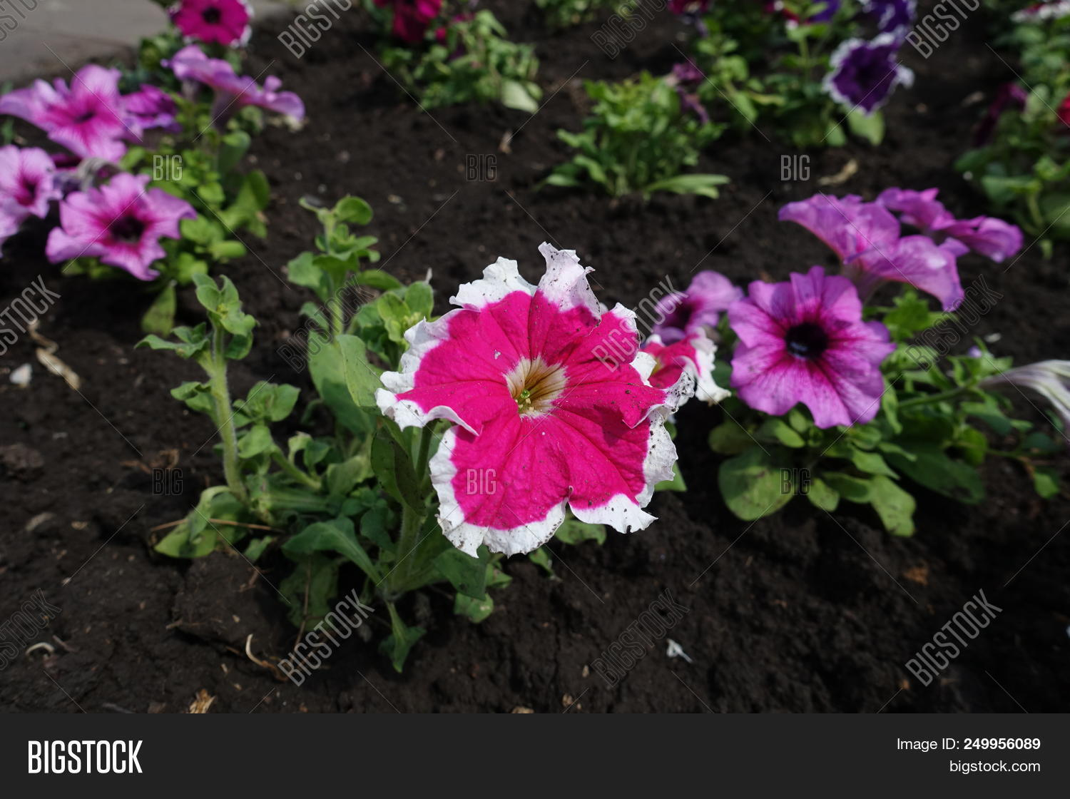 Cerise Colored Flowers Image Photo Free Trial Bigstock