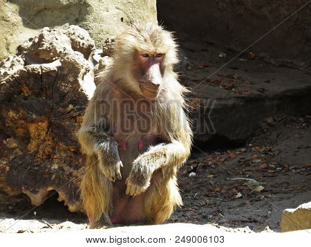 Curios Nice Detail Picture of Macaque Monkey Ape on a Stone Rock poster