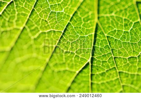 Close-up Of Leaf, Green Leaf In The Garden. Macro Of Green Leaf In Forest. Texture Of Leaf. Currant