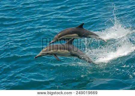 Two Dolphins Jumping In The Ocean In The Sea Of Cortez (baja California, Mexico) - Delphinus Delphin