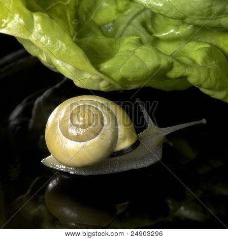 studio photography of a yellow Grove snail and lettuce leaf in dark reflective back poster