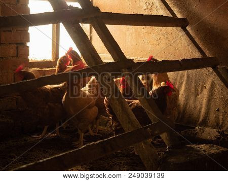 Flock Of Hens Under Slatted Roost Inside Of Hencoop. Brown Chickens Opposite The Window Of The Henne