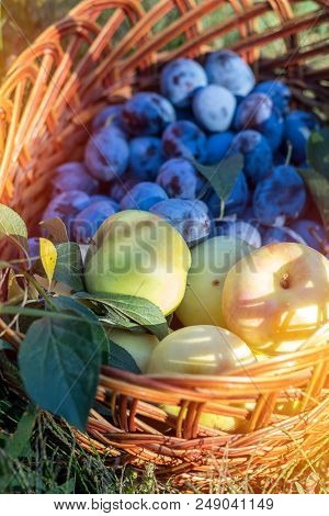 Many Delicious Fresh Juicy Colorful Summer Plums And Apples