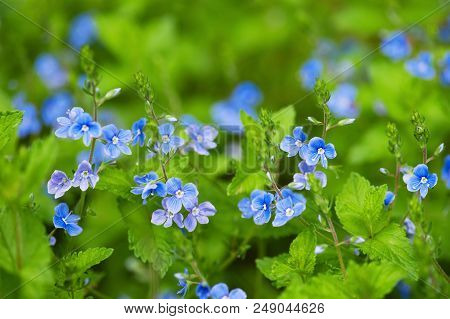 Blooming Tender Forest Flowers In The Soft Morning Light, Nature Background