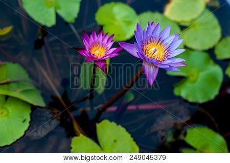 Lotus Flower In Pond.lotus Flower In Pond
