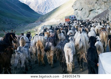 Himalayas Nature And Animals On The Road. Indian Mountains. Goats And Sheep Going A Cross The Road A