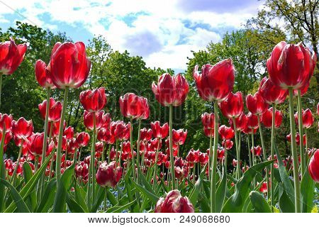 A Continuous Stockade Of Tulips On The Flowerbed. Cheerfully Looking Up At The Clouds In The Blue Sk