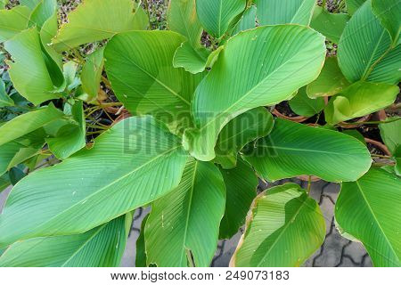 Soft Focus Of Leaves Chinese Evergreen Or Aglaonema Modestum As A Background. Natural Green Wallpape