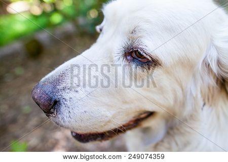 White Polish Tatra Sheepdog Portrait In Nature