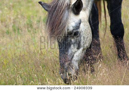Icelandic Horse Face