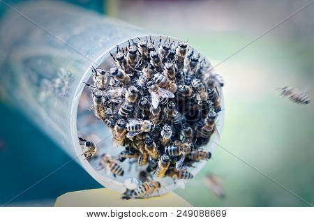 Bee Colony While Feeding On A Pipe Hanging To The Entrance Of The Hive