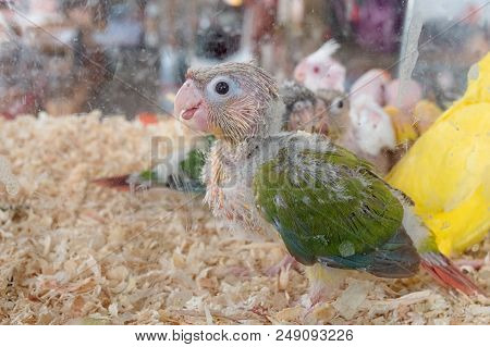 Baby Green-cheeked Conure Bird In Pet Shop