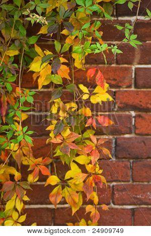 Bunte Virginian Creeper im Herbst