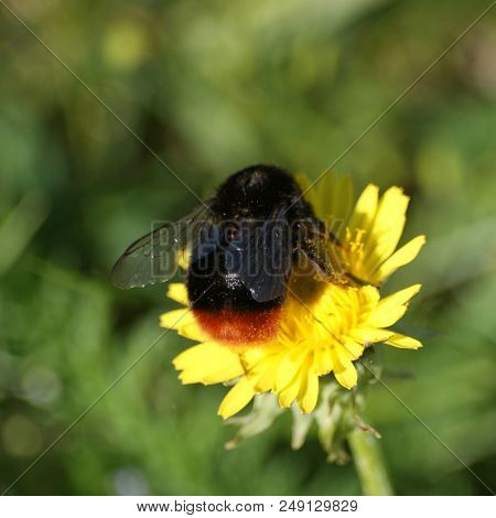 Bumblebee Busy Gathering Nectar From A Yellow Garden Flower