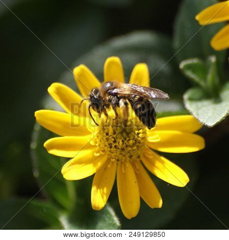 European Honeybee Busy Gathering Nectar For Honey From A Yellow Flower