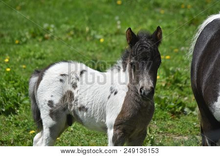 Gorgeous White And Black Paint Miniature Horse In A Grass Field.
