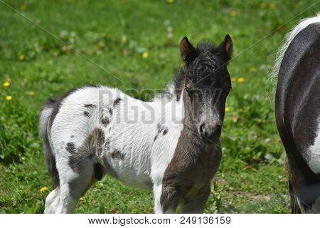Pasture With A Beautiful Miniature Horse Foal On A Spring Day.