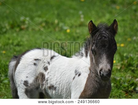 Black And White Miniature Horse Foal In The Spring.