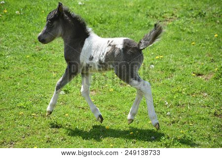 Beautiful Frisky Miniature Horse Foal Running In A Grass Field.