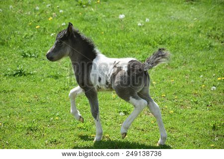 Absolutely Adorable Frisky Black And White Paint Miniature Paint Horse.
